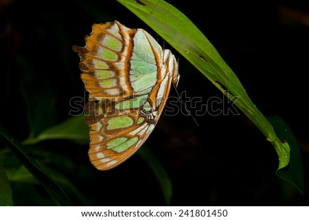 Malachite Butterfly (Siproeta stelenes) at Night in the Tortuguero National Park, Costa Rica - stock photo