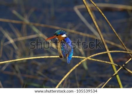 Malachite Kingfisher : Alcedo Cristata : South Africa - stock photo