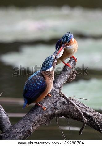 Malachite Kingfisher feeding juvenile - stock photo