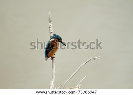 Malachite Kingfisher Juvenile - stock photo