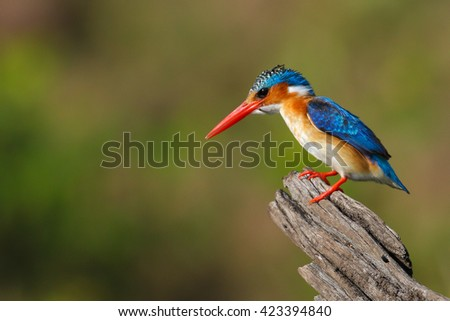 Malachite kingfisher on a dead tree trunk looking for food