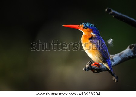 Malachite kingfisher perched on a branch