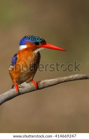 Malachite kingfisher perched on branch