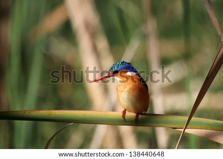 Malachite Kingfisher sitting on leaf side profile - stock photo