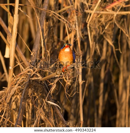 Malachite kingfisher with fish on bank of Chobe River in Botswana Africa