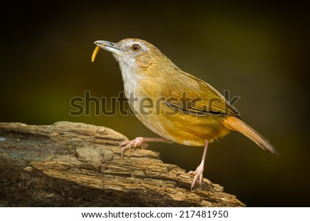 Malacocincla abbotti with worm in her mount in nature - stock photo