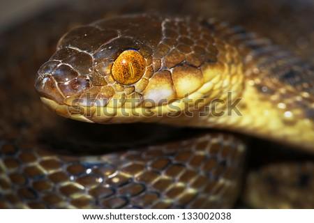 Malagasy Cat-eyed Snake or Madagascar Night Snake (Madagascarophis colubrinus) in the rainforest of Ranomafana, Madagascar. Rear fanged and slightly venomous. - stock photo