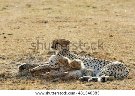 Malaika and her beautiful cubs resting in the grassland of Masai Mara