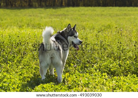 Malamute Dog on walk in a field on a background of green grass, sunshine