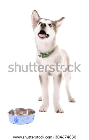 Malamute puppy eating from metal bowl isolated on white - stock photo