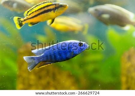 Malawi cichlids. Fish of the genus Cynotilapia - stock photo