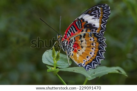 Malay Lacewing butterly isolated on a leaf showing detailed wing pattern