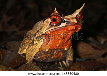 Malayan Horned Frog (Megophrys nasuta) in the jungles of Borneo. AKA Long Nosed Horned Frog / Malayan Leaf Frog. It is restricted to rainforests of Thailand & Malaysia to Singapore, Sumatra & Borneo. - stock photo