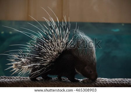 Malayan or Himalayan porcupine on rope