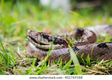 Malayan pit viper in the grass  - stock photo