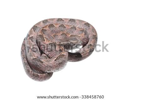 Malayan pit viper on white background - stock photo