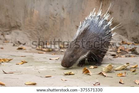 Malayan porcupine, Himalayan porcupine, Large porcupine (Hystrix brachyura) - stock photo