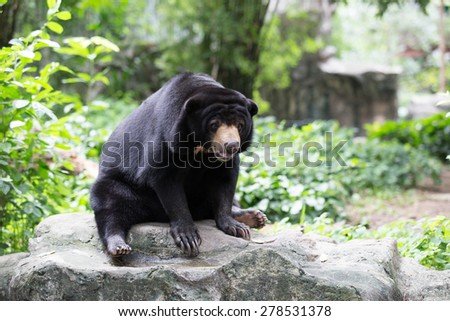Malayan sun bear, Honey bear,at the zoo,thailand.