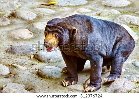 Malayan sun bear(smallest bear)  in its natural habitat. - stock photo