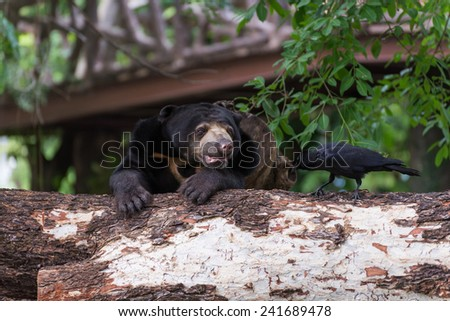 malayan sun bear with black crow