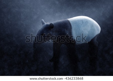 Malayan tapir in the rains. (tapirus indicus).