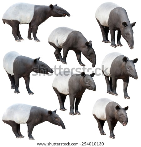 Malayan tapir or Asian tapir collection isolated on white background - stock photo