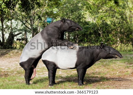 Malayan tapirs engaged in consensual sex