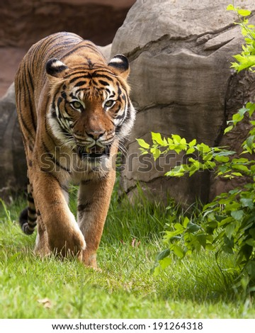 Malayan Tiger - stock photo