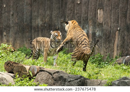 Malayan Tiger fighting each other - stock photo