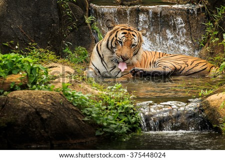 Malayan tiger in its captivity - stock photo