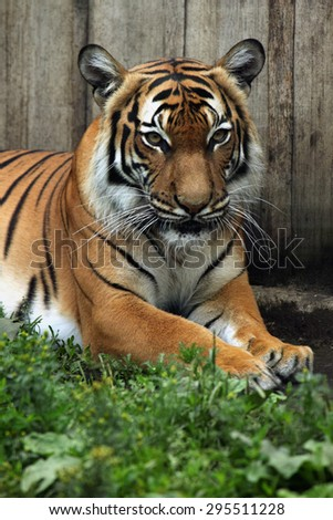 Malayan tiger (Panthera tigris jacksoni). Wildlife animal.  - stock photo