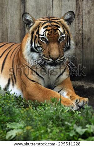 Malayan tiger (Panthera tigris jacksoni). Wildlife animal.  - stock photo