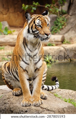 Malayan tiger rest near the pond