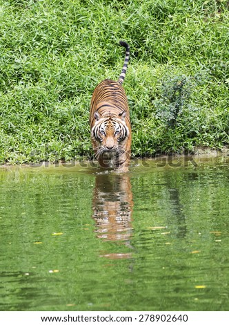 Malayan Tiger Standing Near a River - stock photo