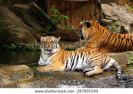 Malayan Tigers soaking in the pond for cooling down their body - stock photo
