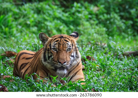 Malaysia October 17 2014 - Malayan tiger is a tiger subspecies that inhabits the southern and central parts of the Malay Peninsular and has been classified as endangered - stock photo