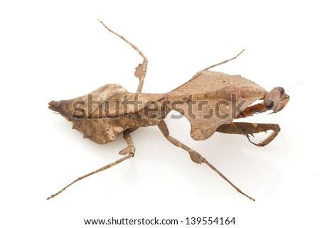 Malaysian Dead Leaf Mantis (Deroplatys lobata) isolated on white background. - stock photo