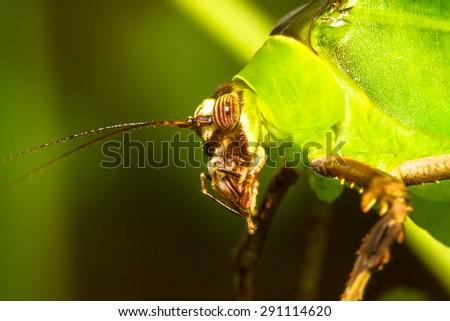 Malaysian katydid profile macro shot - stock photo