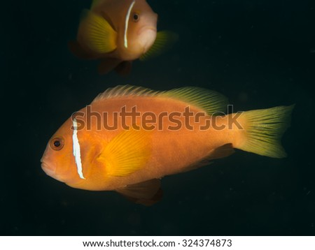 Maldives anemonefish, or black footed clownfish,