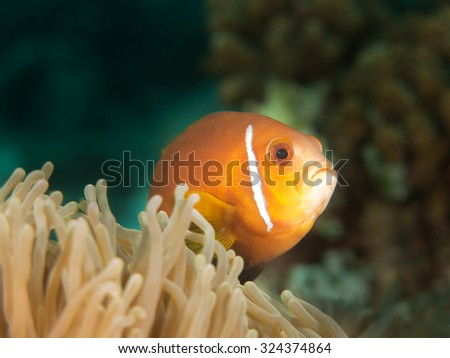 Maldives anemonefish, or blackfooted clownfish, Amphiprion nigripes