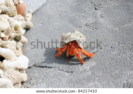 Maldivian Hermit Crab - stock photo