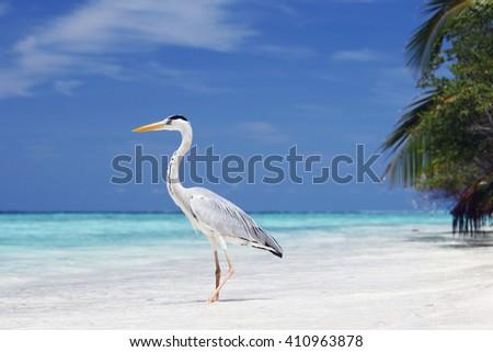 Maldivian heron on a tropical sea beach - stock photo