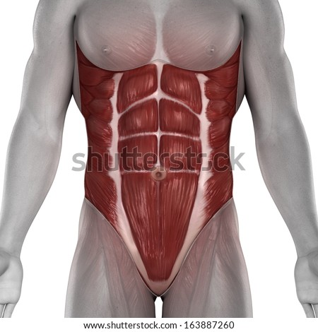 Male abdomen muscles anatomy isolated - stock photo