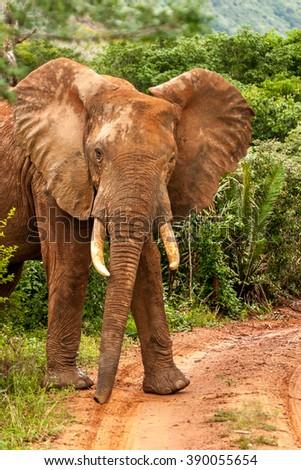 Male African elephant in Kenya Masai Mara Africa - stock photo