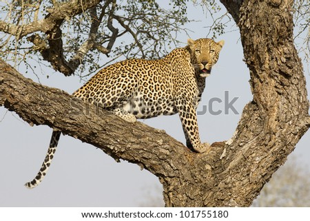 Male African Leopard (Panthera pardus) in tree in South Africa - stock photo