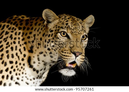Male African Leopard (Panthera pardus) photographed at night in South Africa