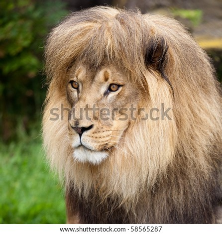 Male African Lion. A photograph depicts a  male African lion.