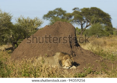 Male African Lion (Panthera leo) sleeping next to a large termite mound in Mashuta Game Reserve in Botswana