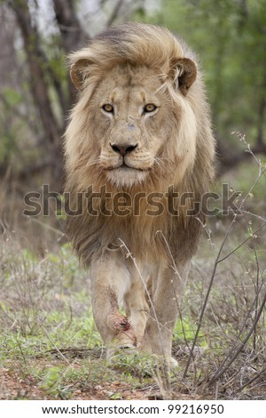 Male African Lion (Panthera leo) walking