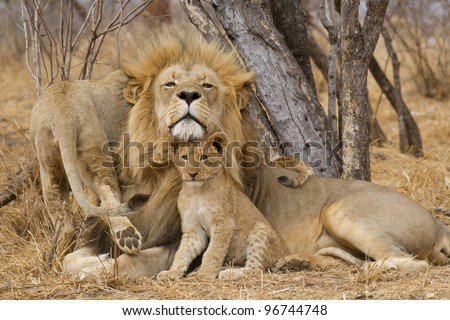 Male African Lion (Panthera leo) with cub, South Africa